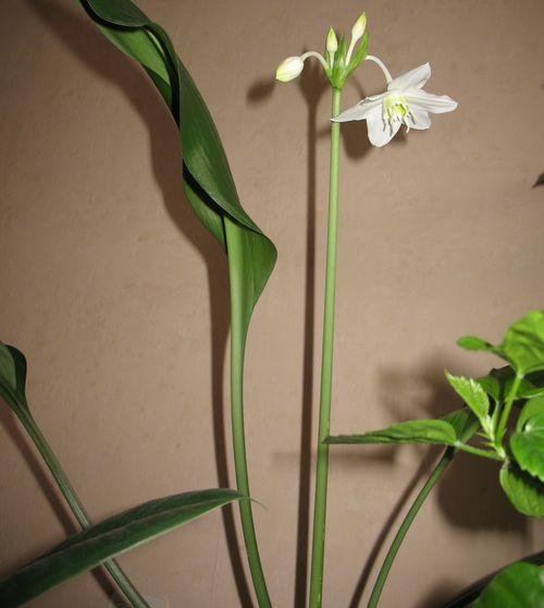 амазонская лилия цветы