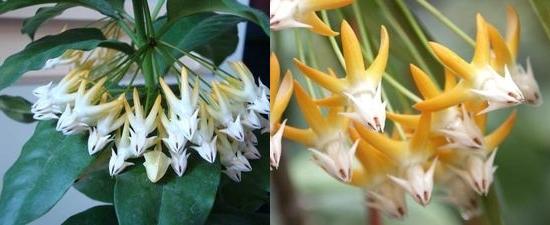 хойя многоцветковая (мультифлора)