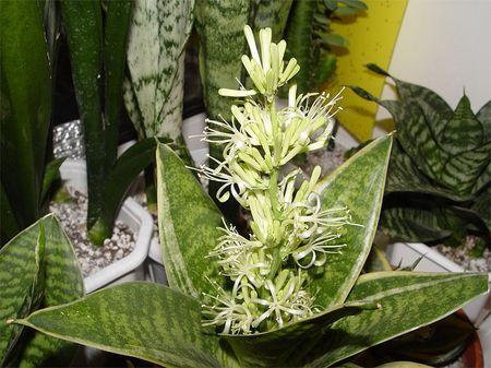 цветок сансевьеры