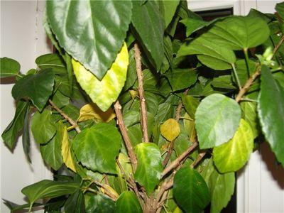 желтуха у растений