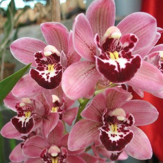 орхидеи из Далата