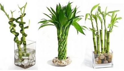 бамбук домашний