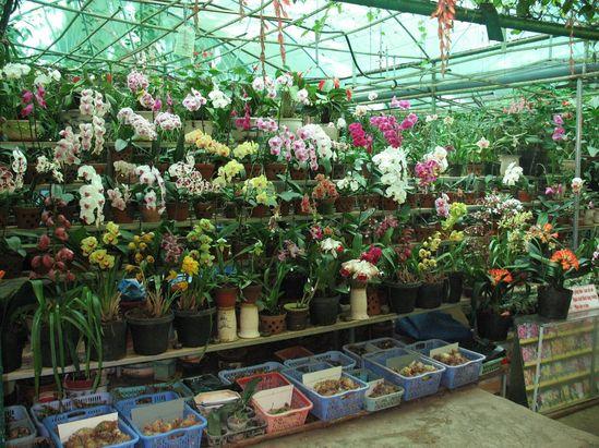 луковицы орхидей в Далате