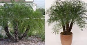 финиковая пальма миниатюра