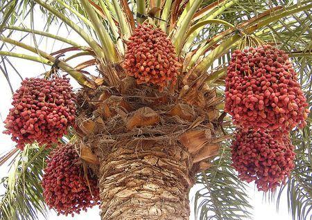 финиковая пальма плоды