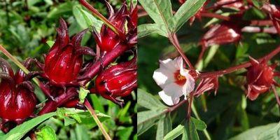 каркаде суданская роза