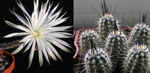 Setiechinopsis