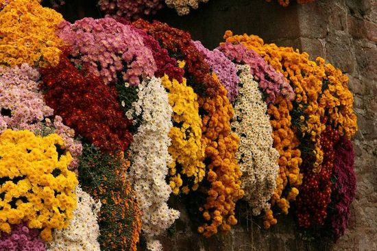 праздник хризантем