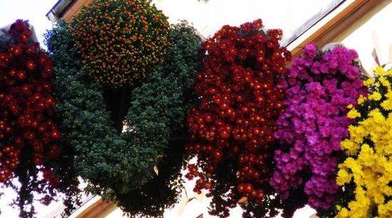 фестиваль хризантемв г. Лаар
