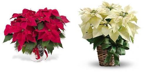 домашний цветок рождественская звезда