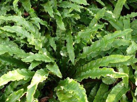 листовик обыкновенный