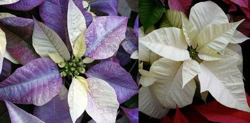 рождественская звезда цветк