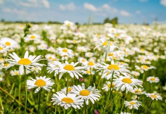 ромашки легенда о цветке