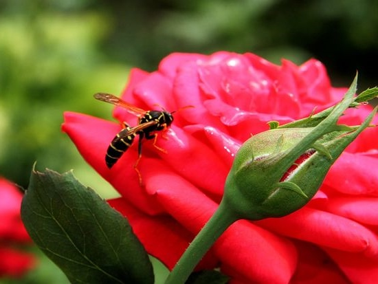роза цветок любви