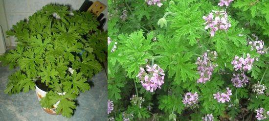 Цветы пеларгония