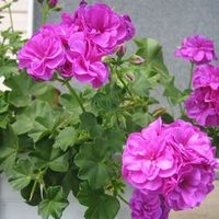 Цветы драцена фото