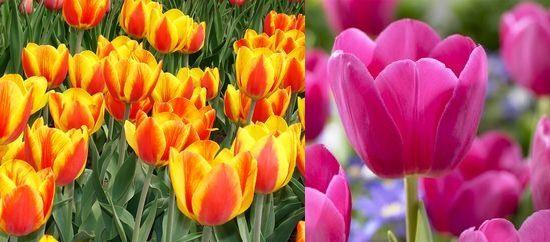 дарвиновы гибриды-триумф-тюльпаны