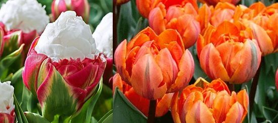 тюльпаны виды