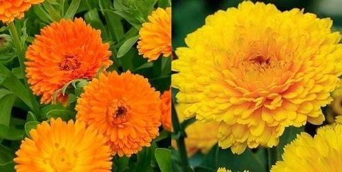 оранжевый король и лимонная красавица