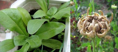 рассада календулы и семена