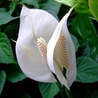 Цветок молочай фото