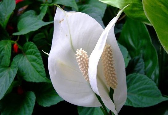 спатифиллум цветы