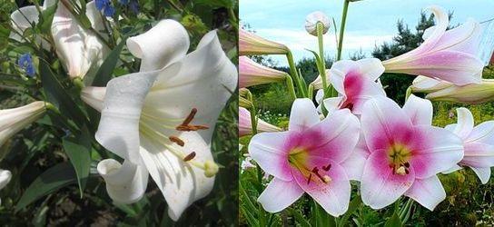 Длинноцветковые гибриды Longyflorum и Triumfator