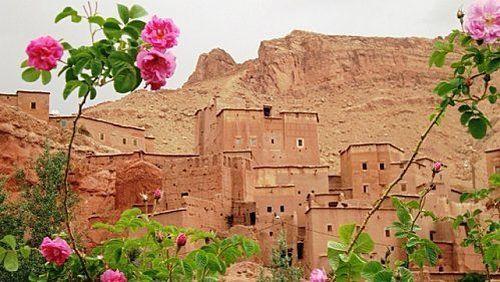 Дамасская роза в Марокко