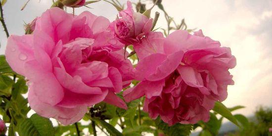 Цветки дамасской розы