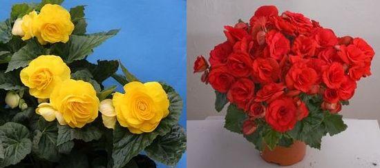 Цветок бегония комнатная: виды и уход, Flowery-Blog