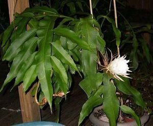 Эпифиллум: уход и выращивание