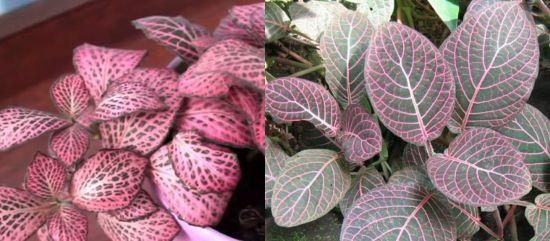 фиттония пурпурная-фиттония персей