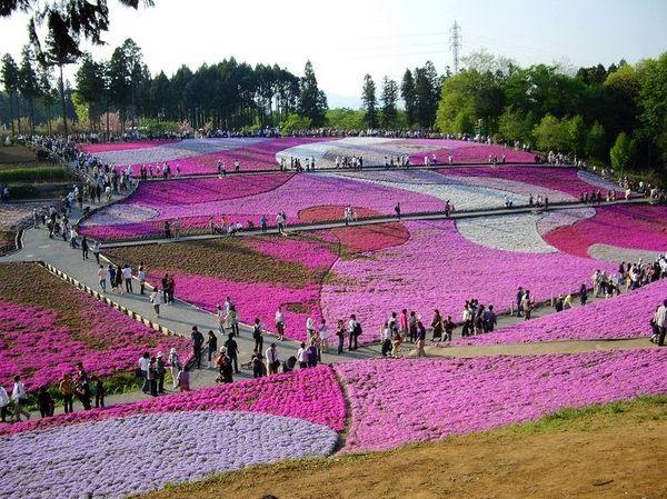 Праздник сибазакура в Японии