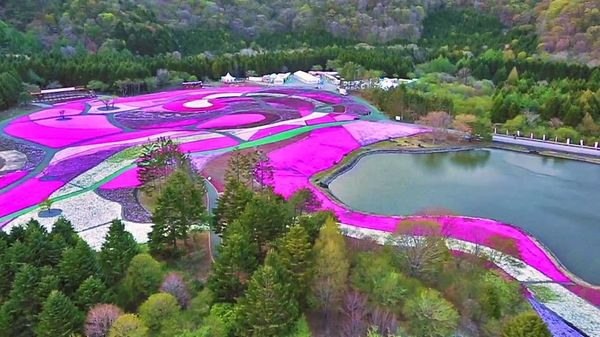 Цветение флокса шиловидного в Японии