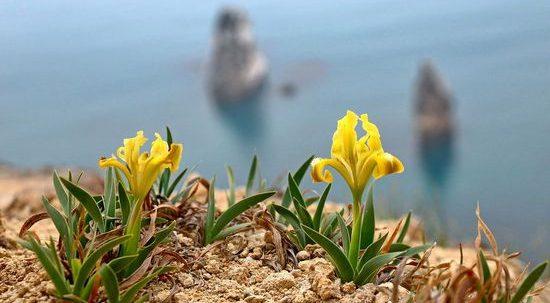 Цветение ирисов на мысе Фиолент в Крыму