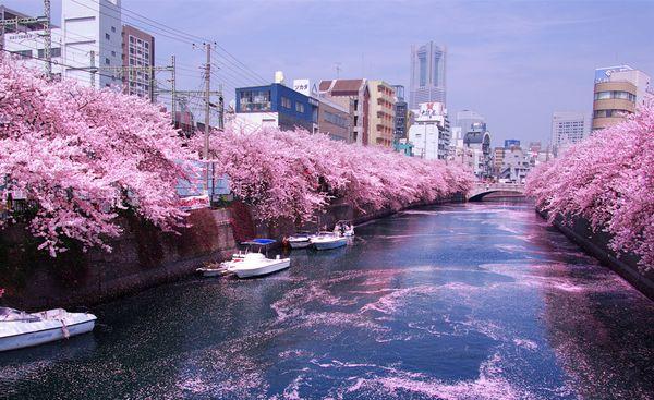 праздник сакуры