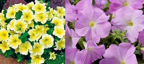 Дольче и Лилак Multiflora