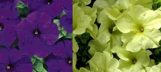 Дримс Миднайт и Лайм Грин Grandiflora