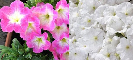Мираж и Вайт Multiflora