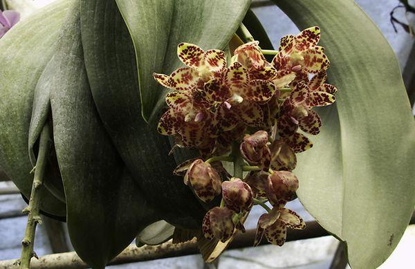 фаленопсис гигантский