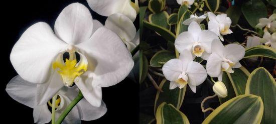 фаленопсис прелестный
