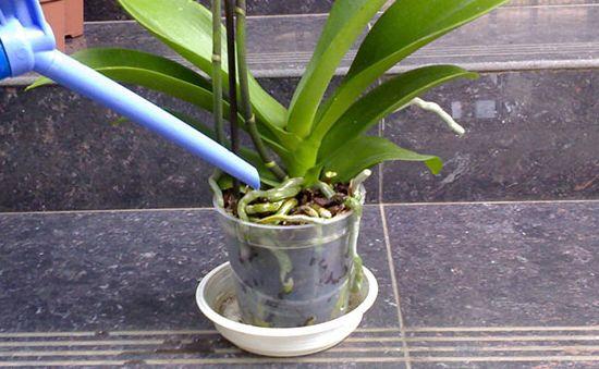 полив фаленопсиса