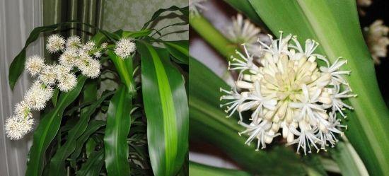 Драцена домашняя фото и уход, Flowery-Blog
