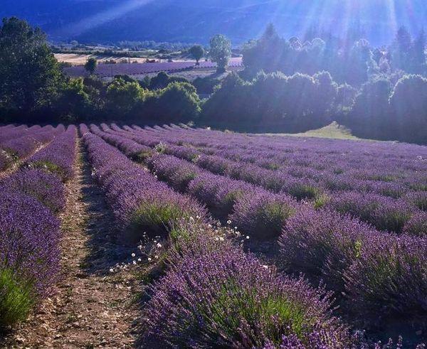 когда цветет лаванда в Провансе