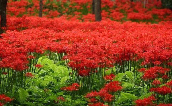 цветение хибангана в Японии