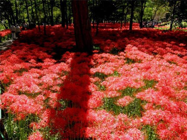 цветение ликориса в Японии