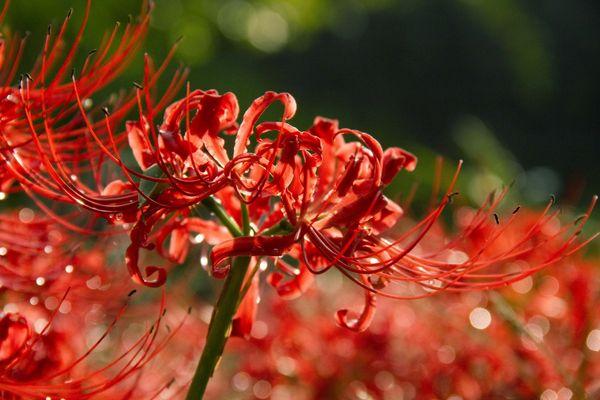 цветение ликориса