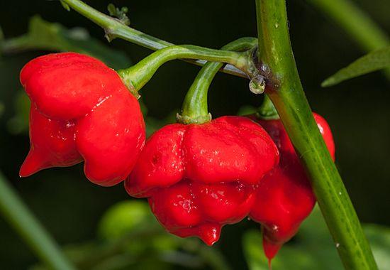 комнатный перец хабанеро красный
