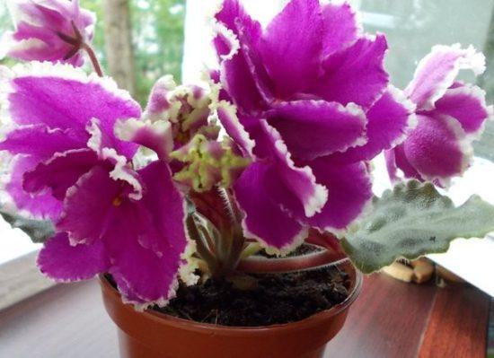 фиалка Малахитовая Орхидея