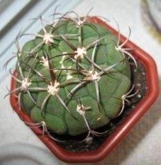 зимовка кактусов миниатюра